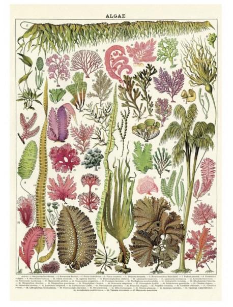 Affiche Algue