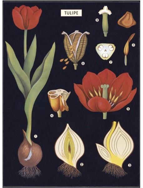 Affiche Tulipe